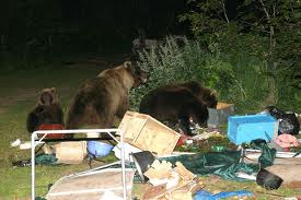 THESE ARE GRIZZLY BEARS. NOT THE FABLED NFL CHICAGO BEARS. FACT: GRIZZLY BEARS LOVE TO VISIT CAMPSITES. THEY LOVE CAMPING FOOD. AND SOMETIMES, CAMPERS.