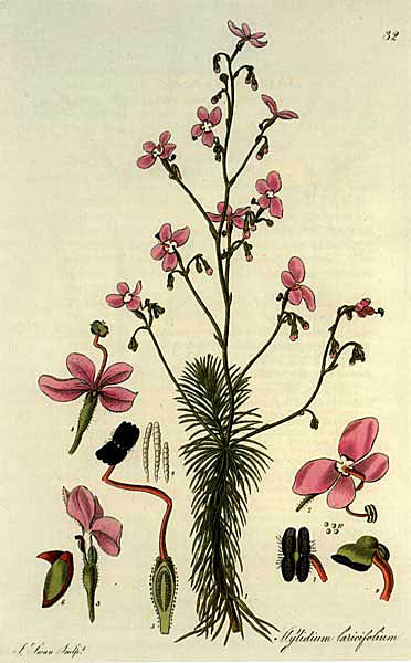 A 19th Century illustration of Stylidium laricifolium, the larch-leaf or tree trigger plant.  This trigger plant is the tallest in the genus, growing up to 1.5 m tall.
