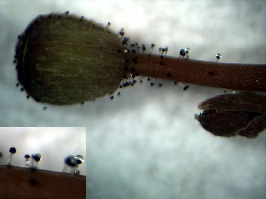 Flower bud and stem of Stylidium fimbriatum showing glandular trichomes.