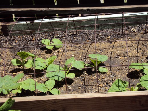 The bean plants are beginning to grow.