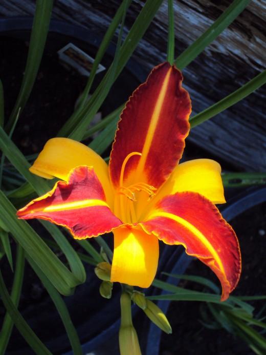 A stargazer lily.
