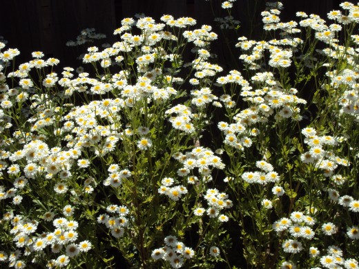 Some people brew feverfew into a tea.