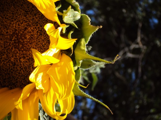 The half-sphere of a sunflower.