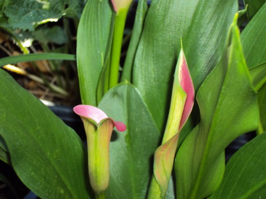 Two lilies that are on the verge of blooming.