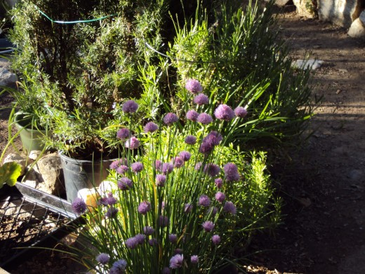 A beautiful lavender color on the blooms of this plant.