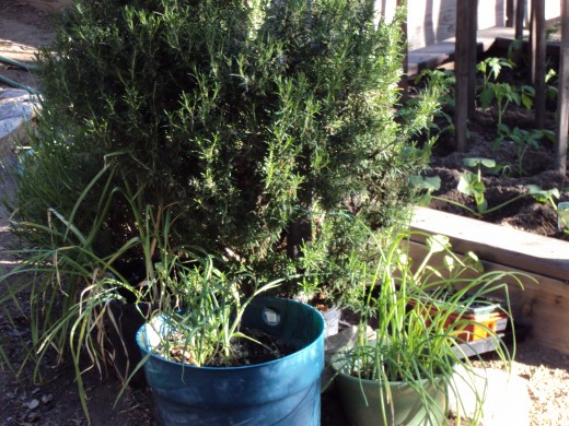 Another picture of the rosemary growing in the garden.