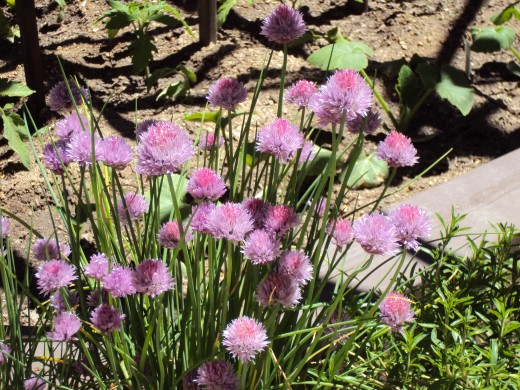 The chives are in bloom.