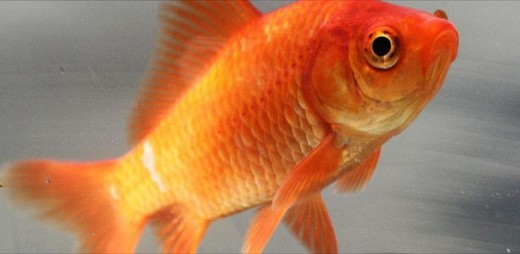 Your goldfish, secretly plotting your demise?
