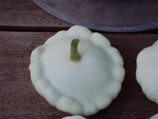 The patty pan squash is freshly picked from the vine.