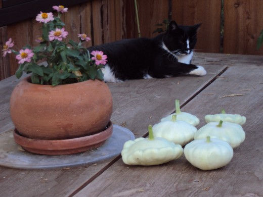 Bobby is resting on the garden table next to the patty pan squash.