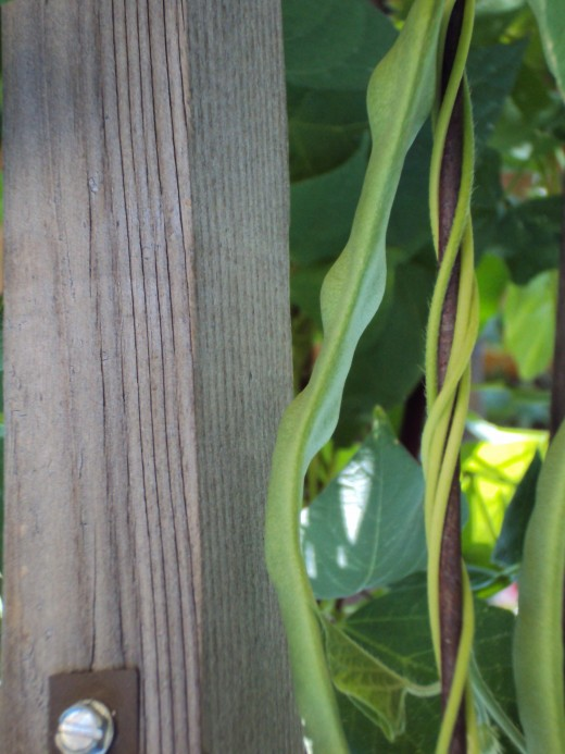 A jumbo-sized green bean is growing in the garden.