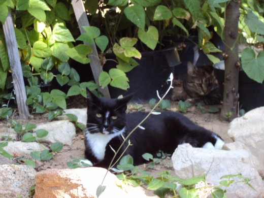 Another picture of Annie cat with Sweety cat among the green bean stocks.