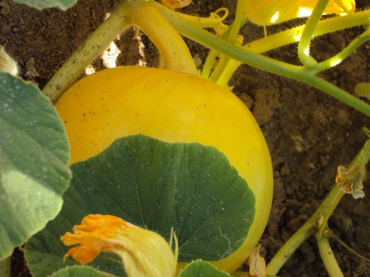 A pumpkin growing on the vine.