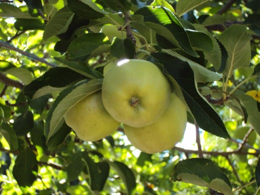 A clump of apples hanging from a branch.