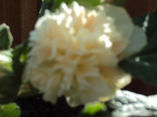 Slightly out of focus rose in the morning.