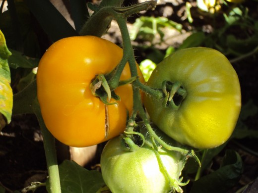 One tomato is turning yellow, and all are beginning to ripen.