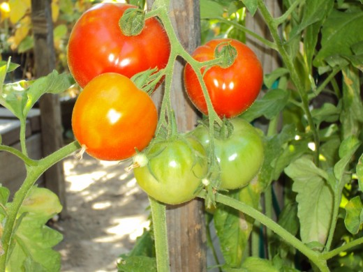 Photo of red and green tomatoes in the garden.