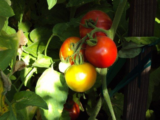 Red tomatoes and others beginning to ripen.