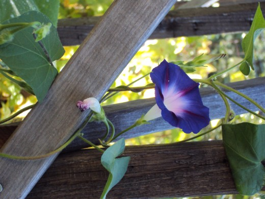The morning glory in the garden.
