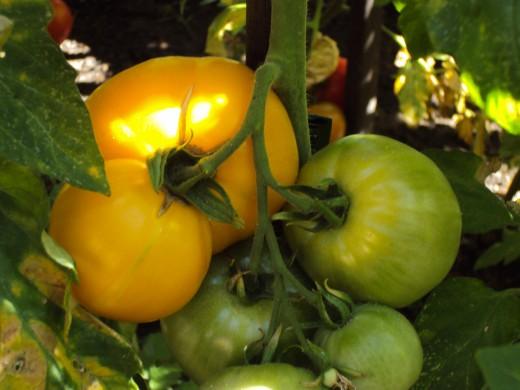 Yellow and green tomatoes on the vine.  The yellow tomato is still ripening.