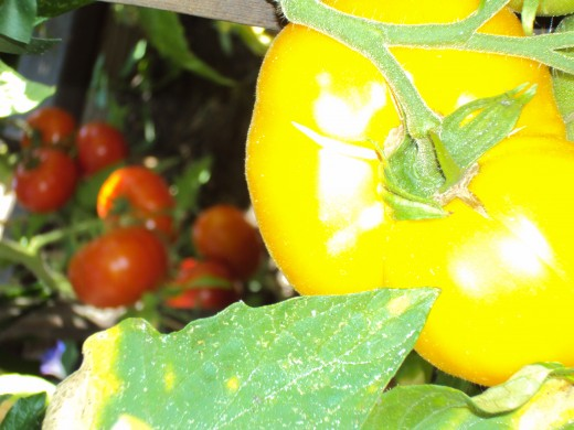 Tomatoes in the garden.