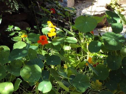 Orange nasturtiums in the garden.