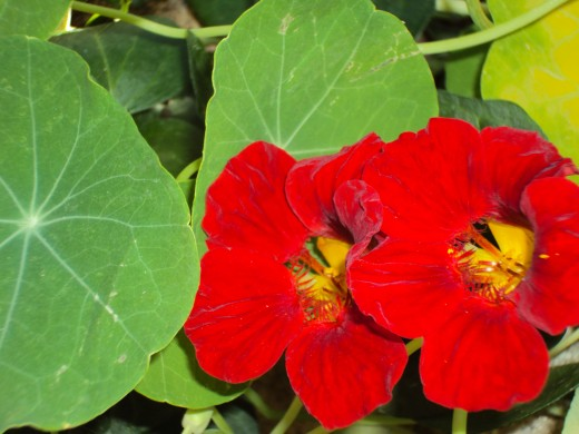 Two red nasturtiums in the garden.