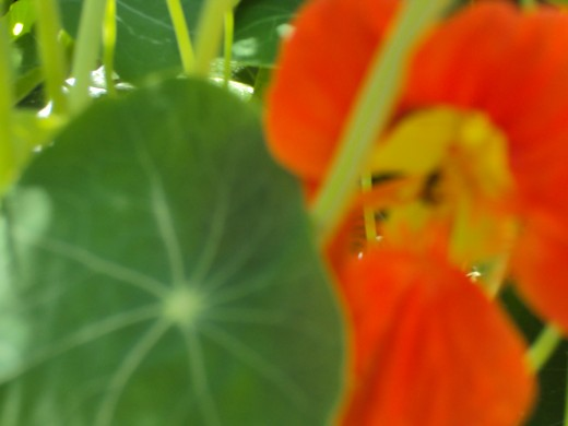 Part of the orange nasturtium is in view.