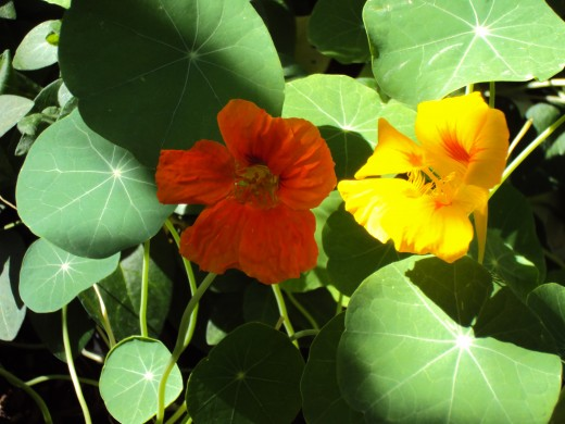 The orange and the yellow nasturtium.
