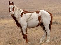 Nokota Mustang