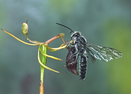 Male wasp attempting to copulate with a Caladenia sp flower.