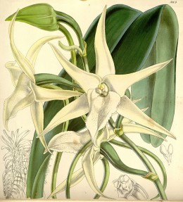 """Angraecum sesquipedale, Darwin's comet orchid. One of the good """"guys"""" as it rewards with nectar its only pollinator, a sphinx moth from Madasgacar."""