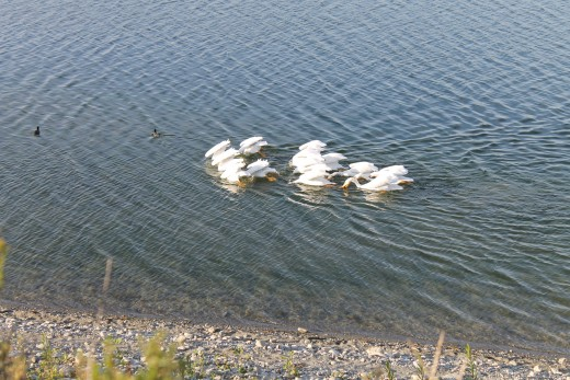 All the Pelicans drinking water together.