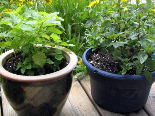 Mint and Lemon Balm