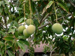 UNREACHABLE NOT FOR US WE WILL NOT CLIMB THE TREE BUT THROW A STONE TILL A MANGO FALLS.WE EAT IT RAW AS KIDS.