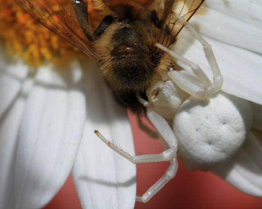 White Crab Spider Eating Bee - Notice the dimples.