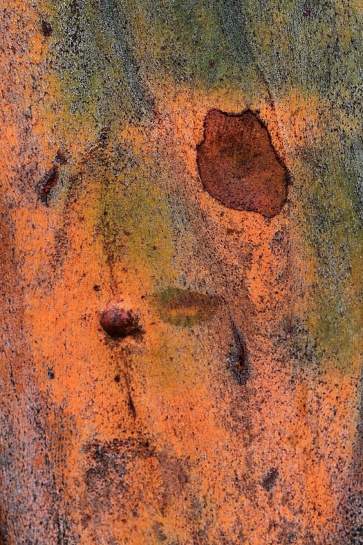 Eucalyptus grandis bark after a rainstorm: Look at the wonderful textures and colors!