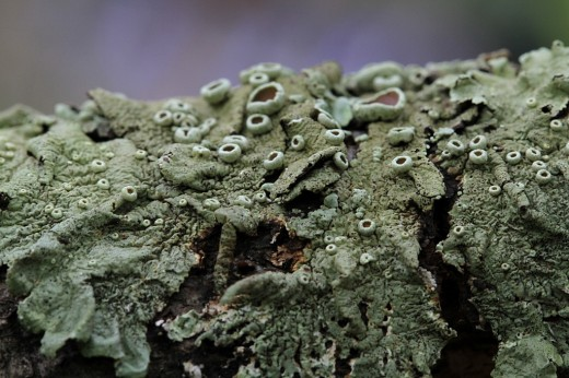 Lichen: Look at the wonderful leathery textures of this Lichen!