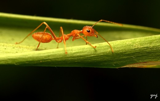 Ant: the mouth parts are interesting looking from this angle. Notice the segmented legs and antenna and the texture of the leaf. In a larger version that can be obtained by clicking on image, notice the hair on the ant's tail parts.