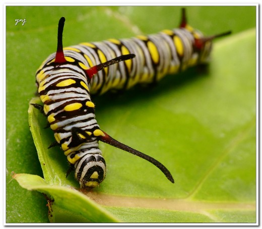 Monarch Caterpillar - Click on image to view larger image.