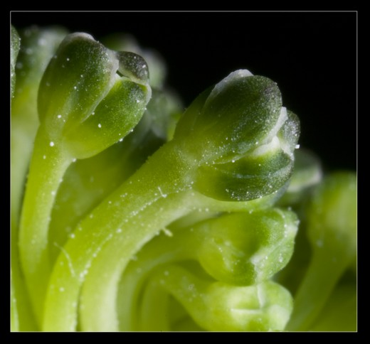 Broccoli: Macrophotography allows you to see the flowers of this broccoli in greater detail than one would normally see.