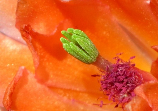 Cactus Flower: You can even see the indivual grains of pollen on this flower.