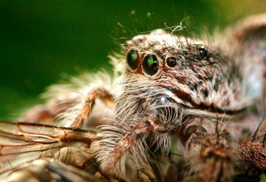 This spider has several different hair/fur types and piercing green eyes.