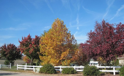 Trees in Templeton California in November, 2011