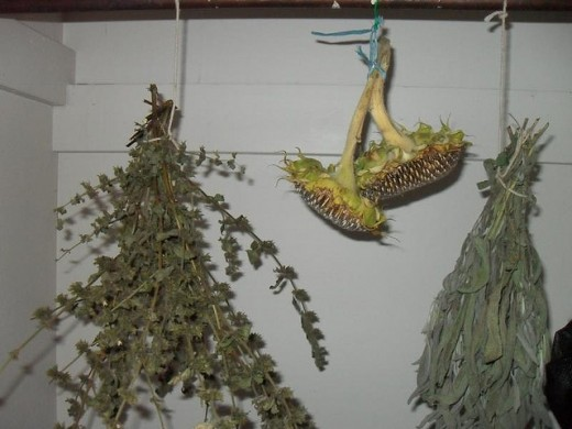 Basil, sunflower and Salvia drying upside down