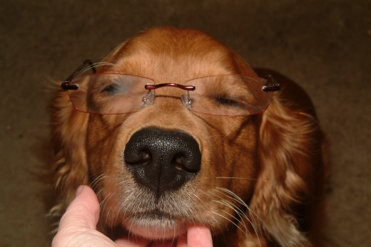 Now this is one relaxed Golden Retriever wearing glasses!