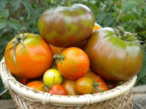 A day's harvest of colourful heirloom tomatoes from the garden.