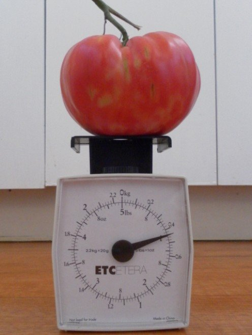 A one pound tomato on the weighing scale