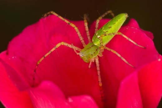Lynx Spider on Rose