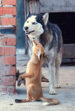 Fox and Husky- unusual for a husky.